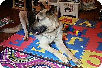 German Shepherd Dog Dog for adoption in Little Rock, Arkansas - Max