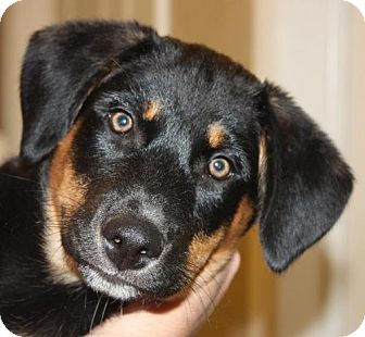 Rottweiler/Border Collie Mix Dog for adoption in Cottageville, West Virginia - Kim
