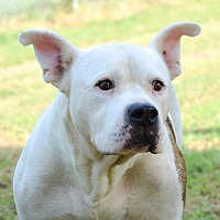 American Bulldog Dog for adoption in Dallas, Georgia - Buzz