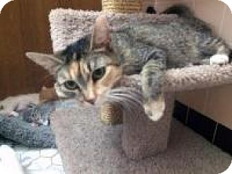 Calico Cat for adoption in Mission Viejo, California - Sprinkles