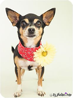 Chihuahua/Miniature Pinscher Mix Dog for adoption in Phoenix, Arizona - Sylvia