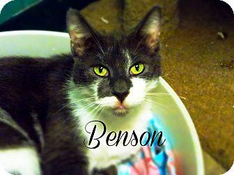 Domestic Shorthair Cat for adoption in Defiance, Ohio - Benson