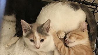 Domestic Shorthair Kitten for adoption in Palisades Park, New Jersey - Buttercup