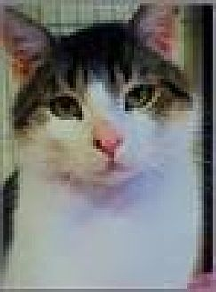 Domestic Shorthair Cat for adoption in Freeport, New York - T.J.