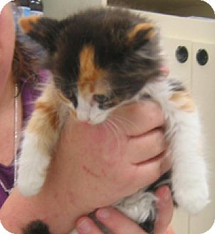 Domestic Longhair Kitten for adoption in Garland, Texas - Patches