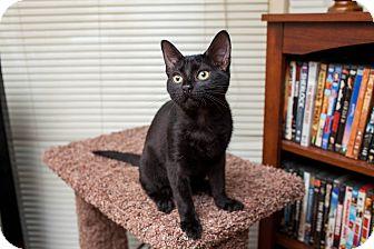 Domestic Shorthair Kitten for adoption in Statesville, North Carolina - Moira