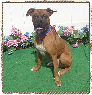 Boxer Dog for adoption in Marietta, Georgia - OSO (R)