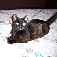 Adopt A Pet :: Sweet Bella-DECLAWED TORTIE - Taylor Mill, KY