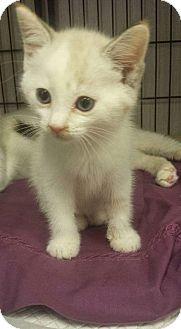 Siamese Kitten for adoption in Savannah, Georgia - Silk