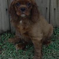 Adopt A Pet :: Rusty - Alpharetta, GA