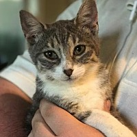 Adopt A Pet :: Persephone - Royal Palm Beach, FL