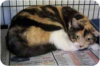 Calico Cat for adoption in Somerset, Pennsylvania - Peewee