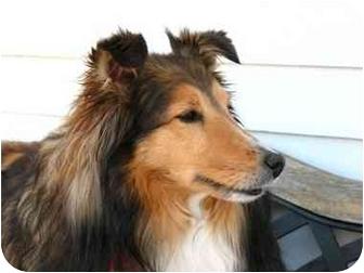 Sheltie, Shetland Sheepdog Dog for adoption in Ile-Perrot, Quebec - Moka