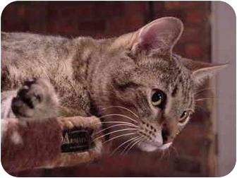 Domestic Shorthair Cat for adoption in Chesapeake, Virginia - Miley