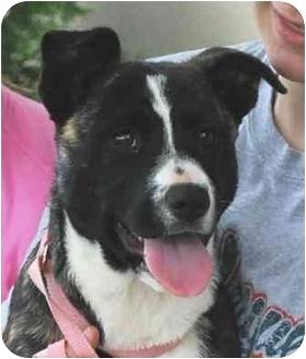 German Shepherd Dog Mix Puppy for adoption in Fulton, Missouri - URGENT!-Lily