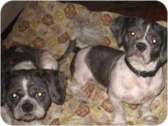Shih Tzu Dog for adoption in Newburgh, Indiana - Duke & Buddy