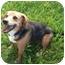 Photo 2 - Beagle Mix Dog for adoption in Toronto, Ontario - Sadie