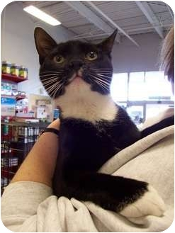 Domestic Shorthair Kitten for adoption in North Plainfield, New Jersey - Boots