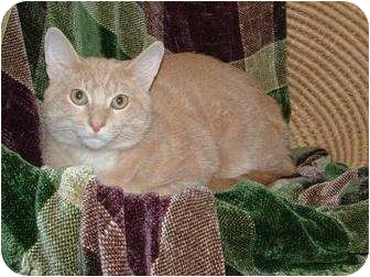 Domestic Shorthair Cat for adoption in mishawaka, Indiana - Cosmo