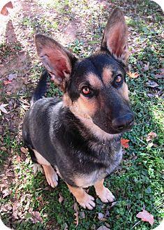 German Shepherd Dog Dog for adoption in Nashville, Tennessee - Kelly