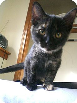 Domestic Shorthair Kitten for adoption in Byron Center, Michigan - Pippa