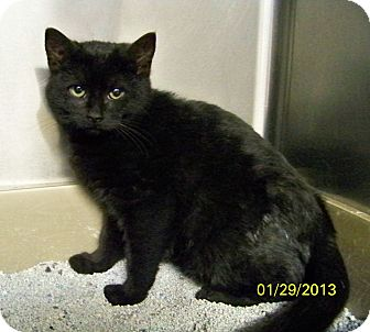 Domestic Mediumhair Cat for adoption in Dover, Ohio - Bandit