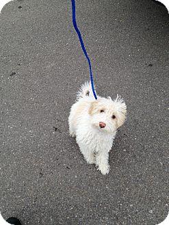 Poodle (Miniature) Puppy for adoption in Ogden, Utah - Annika
