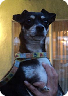 Miniature Pinscher/Dachshund Mix Dog for adoption in Studio City, California - Pepper