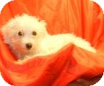 Maltese/Poodle (Toy or Tea Cup) Mix Puppy for adoption in Antioch, Illinois - Marla ADOPTED!!