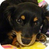Dachshund Puppy for adoption in Houston, Texas - Jennifer Lawrence