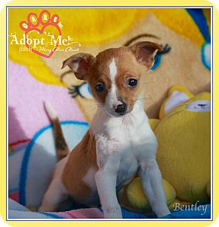 Chihuahua Mix Puppy for adoption in Wilmington, Delaware - Bentley