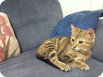 Domestic Shorthair Kitten for adoption in Chattanooga, Tennessee - Laverne
