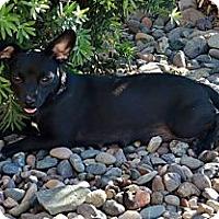 Adopt A Pet :: BELLE - Torrance, CA