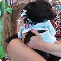 Adopt A Pet :: Mokie - Encinitas, CA
