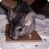 Adopt A Pet :: Cheech - Avondale, LA