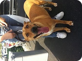 Labrador Retriever/Shepherd (Unknown Type) Mix Dog for adoption in Nuevo, California - Pumkin