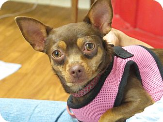 Chihuahua Dog for adoption in Syracuse, New York - Reese's Pieces