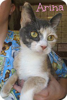 Domestic Shorthair Cat for adoption in Menomonie, Wisconsin - Arina