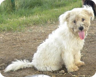 Terrier (Unknown Type, Small)/Poodle (Miniature) Mix Puppy for adoption in Pilot Point, Texas - BENJI