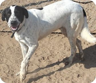 Pointer Mix Dog for adoption in Sunnyvale, California - Denver