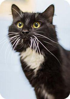 Domestic Longhair Cat for adoption in Lowell, Massachusetts - Higgins