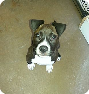 American Bulldog Mix Puppy for adoption in Tallahassee, Florida - Gus