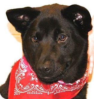 Labrador Retriever/Chow Chow Mix Dog for adoption in Groton, Massachusetts - Gabby
