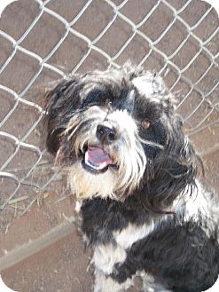 Lhasa Apso/Shih Tzu Mix Dog for adoption in Las Cruces, New Mexico - Buster