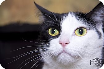 Domestic Shorthair Cat for adoption in Divide, Colorado - Mrs. Brady