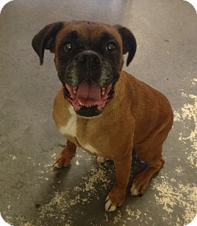 Boxer Mix Dog for adoption in Greensburg, Pennsylvania - Sadie