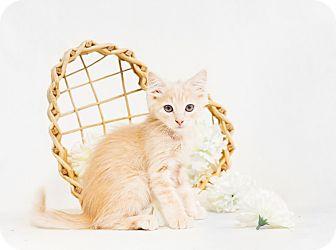 Domestic Mediumhair Kitten for adoption in Redding, California - Medford