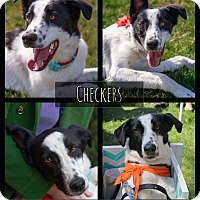 Adopt A Pet :: Checkers - West Richland, WA