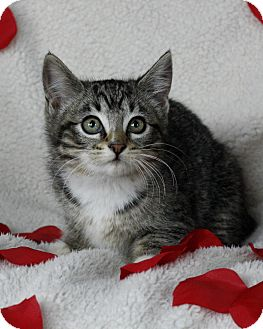 Domestic Mediumhair Kitten for adoption in Mayflower, Arkansas - Panya
