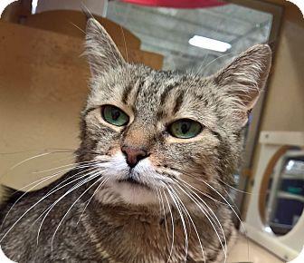 Domestic Mediumhair Cat for adoption in East Stroudsburg, Pennsylvania - Pita